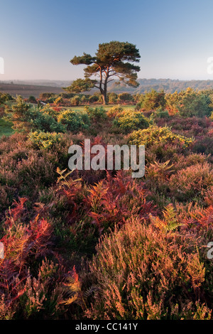 Single Lone Pine at Bratley View New Forest - Stock Photo