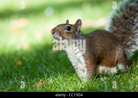 Grey (gray) squirrel, Sciurus carolinensis, on green grass looking with its head pointing up.  England, UK - Stock Photo