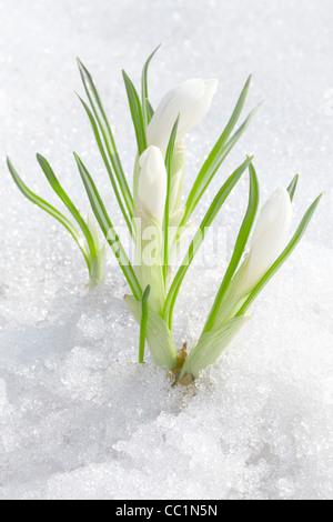 Crocus flowers - Stock Photo