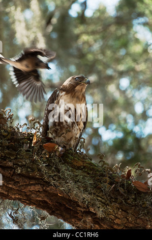 Red-tailed Hawk Juvenile (Buteo jamaicensis), mobbed by Blue Jay, Little St Simon's Island, Barrier Islands, Georgia, - Stock Photo