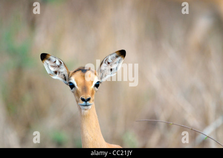 Kruger national Park in South Africa is world famous for do-it-yourself game viewing at affordable rates. Baby impala - Stock Photo
