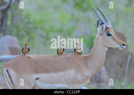 Kruger national Park in South Africa is world famous for do-it-yourself game viewing at affordable rates. Impala - Stock Photo