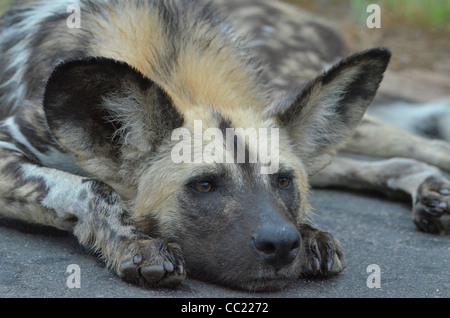 Kruger national Park in South Africa is world famous for do-it-yourself game viewing at affordable rates. Wild dog - Stock Photo