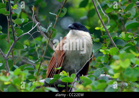 Kruger national Park in South Africa is world famous for do-it-yourself game viewing at affordable rates. Coucal - Stock Photo