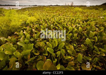 Water plants in Refugio de vida Silvestre Cienaga las Macanas, protected wetlands, in Herrera province, Republic - Stock Photo