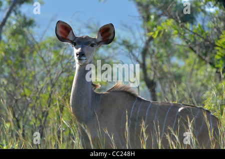 Kruger national Park in South Africa is world famous for do-it-yourself game viewing at affordable rates. Female - Stock Photo