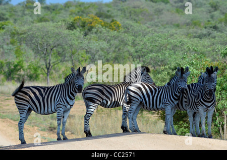 Kruger national Park in South Africa is world famous for do-it-yourself game viewing at affordable rates. Zebra - Stock Photo