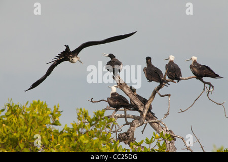 Colony of Magnificent Frigatebird, Fregata magnificens, at Punta Chame, Pacific coast, Panama province, Republic - Stock Photo