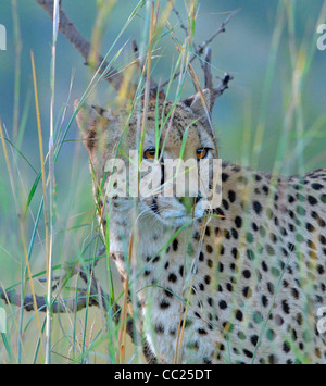 Kruger national Park in South Africa -- best game viewing at affordable rates. cheetah peering through long grass - Stock Photo