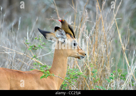 Kruger national Park in South Africa, world famous for game viewing at affordable rates. Baby impala with oxpeckecker - Stock Photo