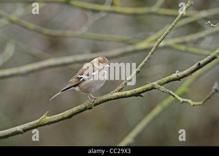 Adult female chaffinch bird at rest on branch. - Stock Photo