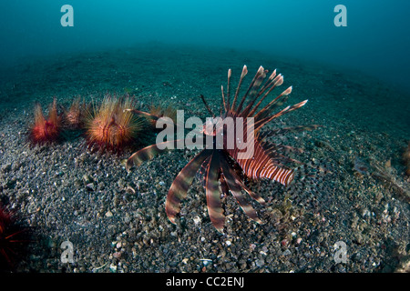 A Lionfish (Pterois volitans) swims over a sandy bottom near fire urchins.  This fish is now found in the Caribbean. - Stock Photo