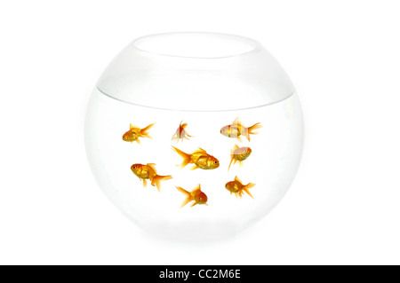 Many gold fish in a fish bowl. On clean white background - Stock Photo