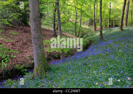 Classic carpet of English Bluebells on the trail between Soudley and Blakeney in the Forest of Dean, Gloucestershire, - Stock Photo
