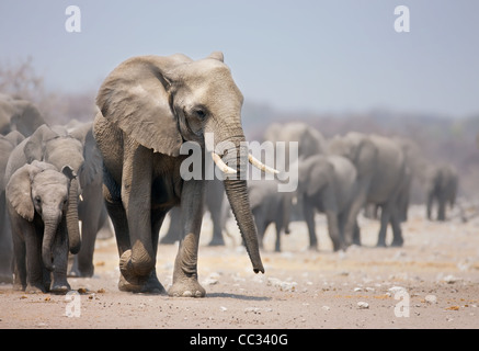 Elephant approaching with a large herd; African elephants; Loxodonta Africana - Stock Photo