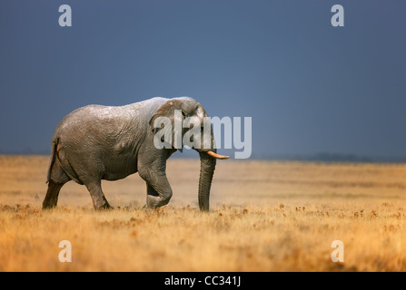 Elephant bull walking in open grassfield; Loxodonta Africana; Etosha - Stock Photo