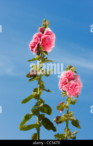 Common Hollyhock. Scientific name: Alcea rosea (Althaea rosea). - Stock Photo