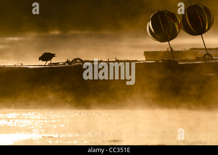 Eurasian Coot (Fulica atra) exploring some rowing boats in early morning steam. - Stock Photo