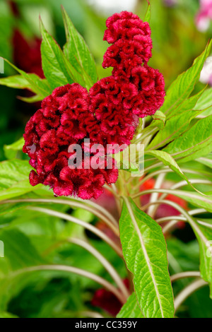 Close up of a Cockscomb flower - cristate or crested variety of the species Celosia argentea. Scientific name: Celosia - Stock Photo
