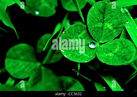 Clover with a drop of water - Stock Photo