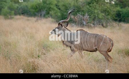 Africa Botswana Tuba Tree-Greater Kudu walking (Tragelaphus strepsiceros) - Stock Photo