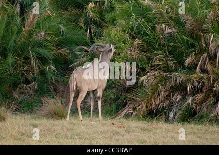 Africa Botswana Tuba Tree-Greater Kudu browsing (Tragelaphus strepsiceros) - Stock Photo