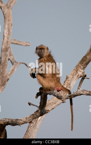 Africa Botswana Tuba Tree-Chacma baboon sitting on tree limb (Papio ursinus) - Stock Photo