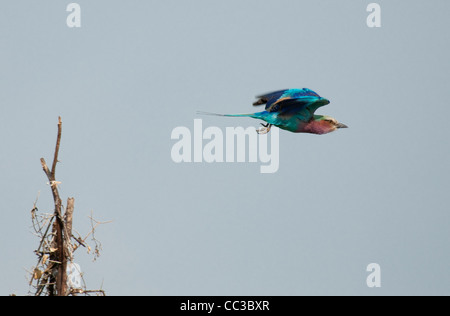 Africa Botswana Tuba Tree-Lilac-Breasted Roller flying (Coracias caudatus) - Stock Photo