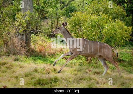 Africa Botswana Tuba Tree-Greater Kudu running (Tragelaphus strepsiceros) - Stock Photo