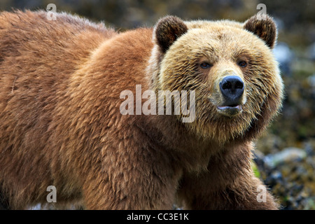 Female coastal Grizzly bear searching for food at low tide on the British Columbia Mainland, Canada - Stock Photo