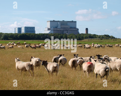Sheep in front of Hinkley Point nuclear power station, Somerset, UK - Stock Photo