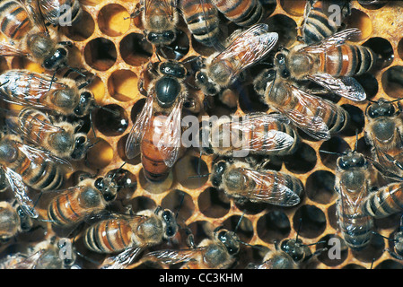 Zoology - Insects - Hymenopters - Common Honeybee (Apis Mellifera) - Queen Bee With Workers. - Stock Photo