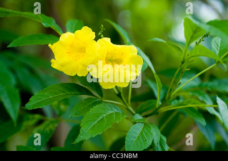 Yellow Elder (Yellow Trumpetbush) (Tecoma stans)seen in Kandy, Sri Lanka.