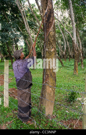 Worker tapping natural rubber from in a rubber tree plantation in Sri Lanka. - Stock Photo