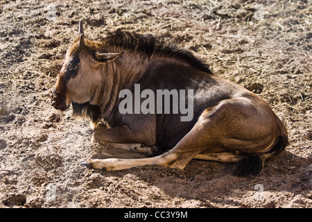 Blue Wildebeest or Brindled Gnu - Connochaetes taurinus - resting in late afternoon sunlight - Stock Photo