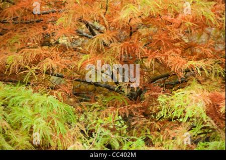 Taxodium distichum, Swamp Cypress, in autumn - Stock Photo