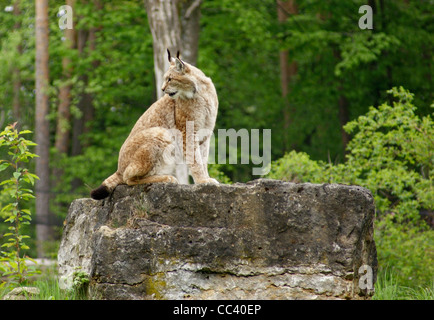 sideways shot of a Eurasian Lynx sitting on rock formation in front of forest back - Stock Photo