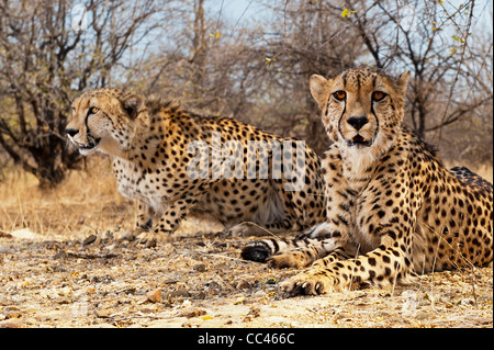 Two Cheetahs resting under a bush - Stock Photo