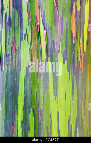 USA, HI, Maui, near Hana, Rainbow Eucalyptus Trunk - Stock Photo