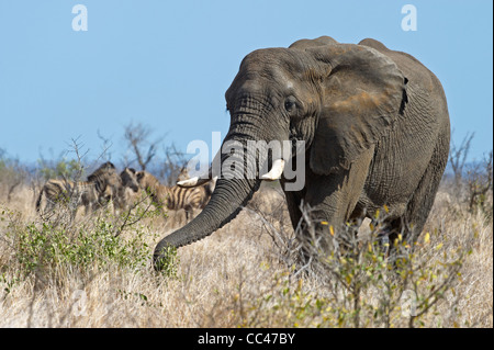 A Bull African Elephant grazing - Stock Photo