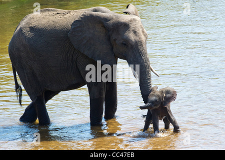 A female African Elephant and calf crossing a river - Stock Photo