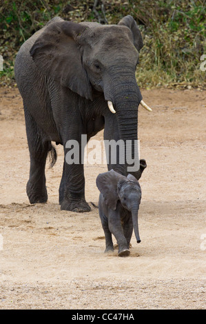 A female African Elephant and calf - Stock Photo