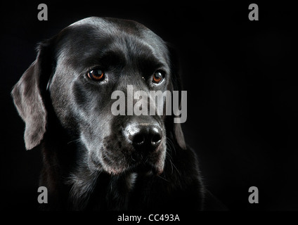 A Black Labrador with a black back drop. - Stock Photo