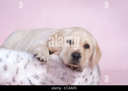 Labrador puppy at pink background - Stock Photo