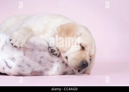 Sleeping labrador puppy at pink background - Stock Photo