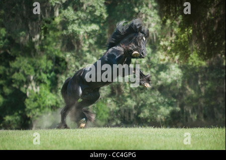 Gypsy Vanner Horse stallion - Stock Photo