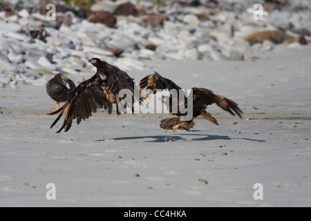 A pair of Striated Caracara, Phalcoboenus australis, taking off on the beach on Carcass Island, the Falklands - Stock Photo