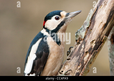 Great Spotted Woodpecker Adult Male on Rotten Branch - Stock Photo