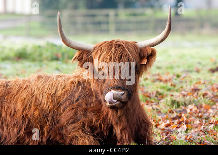 Highland Cow Licking Nose Close up on frosty autumn day - Stock Photo