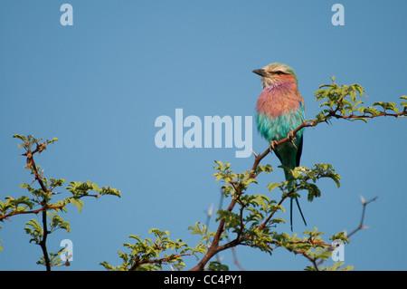 Africa Botswana Tuba Tree. Lilac-breasted Roller perched on limb (Coracias caudatus) - Stock Photo